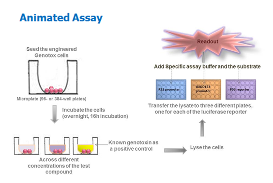 Genotoxicity screen Assay | Human Cell Based High-throughput